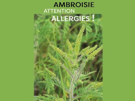 illustration ambroisie